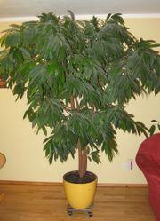 Ficus Baum 2,