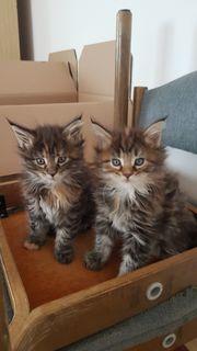 Maine Coon Kitten können reserviert