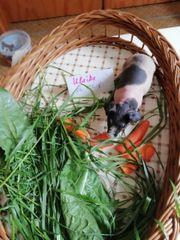 Skinnymeerschweinchen