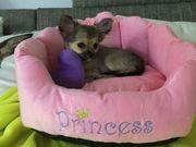 Chihuahua Welpe weibl 3 Monate