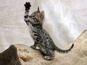 Schmusige Bengal Kitten /