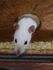 Ratten weibchen verschiedene