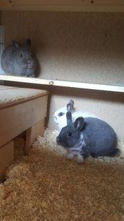 Junge Zwergkaninchen Kaninchen