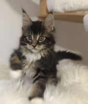 Wurfankündigung Maine Coon Kitten mit