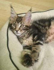 Maine coon Kätzchen mit ausgezeichnetem
