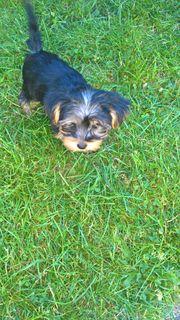 Yorkshire Terrier Reinrassig