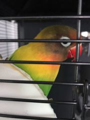 Zwerg Papagei 1,