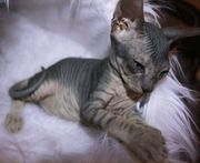 Don Sphynx Kitten Reinrassig mit