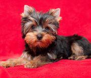 Yorkshire Terrier 3 Monate Rüde