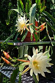 Kaktus, Blattkaktus, Epiphyllum