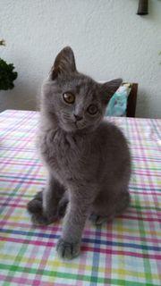 BKH Katzen Baby - Grau Katerchen