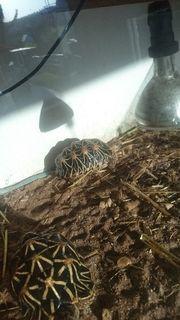 sternschildkröten 1.1