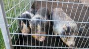 Mini Hängebauchschweine