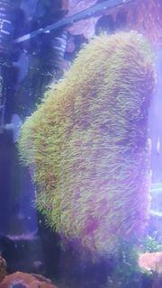 grüne Röhrenkoralle für Meerwasser
