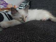 Heilige Birma Kitten (