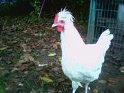 weißer Hahn abzugeben