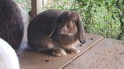 Süßer Widder Kaninchen