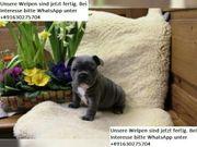 Französische Bulldoggen Welpen Blue Brindle