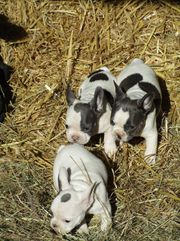 Französich Bulldogge-Knutschkugel -Familienhund in blau