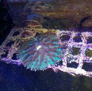 Fungia Koralle Meerwasser