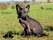 Braveheart ~ Chinese Crested