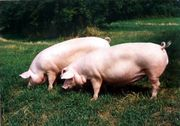 Schlachteschweine