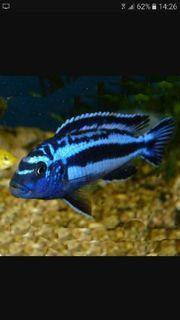 Stahlblauer Maulbrüter (Melanochromis