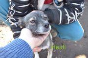 Heidi kleine Mischlingshündin sucht Familienanschluss