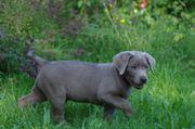 Labradorwelpen in edlem