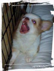 Chihuahua Langhaar Welpe