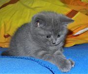 Bkh Kitten 3schöne Mädchen