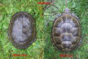 Europäische Sumpfschildkröten Emys orbicularis