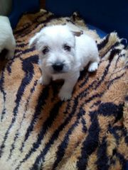 West Highland Withe Terrier
