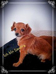 Chihuahua s suchen