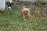Yorkshire-Terrier Fibo