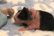 zauberhafter Skinny Pig (