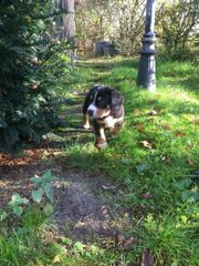 Sennenhund Welpen