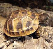 Dalmatinische Landschildkröte Testudo hermanni hercegovinensis