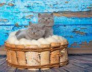 Britischen Kätzchen Kitten suchen ein