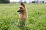 Dingo 9 Jahre
