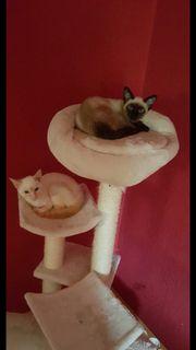 Siamkatzen Pärchen