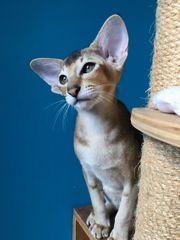 Wunderschönes OKH kitten,