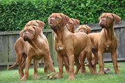 Liebenswerte Bordeaux Doggen