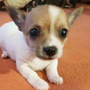 Mini Chihuahua Rüde
