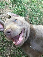 Labrador Welpe Silber