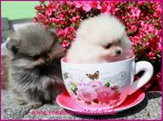 Teacup Pomeranianwelpen orange
