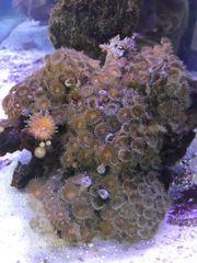 Meerwasser krustenanemonen xxl