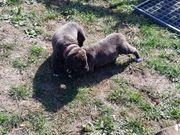 Dogo Canario Alano Spanisch Doggen