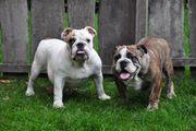 Charmante Englische Bulldoggen