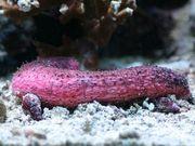 Meerwasser Rosa Seegurke 15cm kleinbleibend